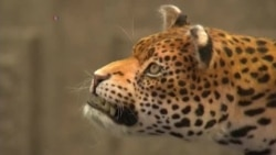 Robot Leopard Draws Attention to Big Cat Conservation