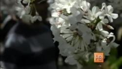 Вашингтонский фестиваль цветения вишен
