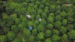 Համաճարակը լուրջ տնտեսական վնաս է հասցրել նաեւ Կոլոմբիայում սուրճի ֆերմաներին
