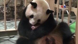 ԱՌԱՆՑ ՄԵԿՆԱԲԱՆՈՒԹՅԱՆ. Ճապոնիայի կենդանաբանական այգում ծննդաբերել է հսկա պանդան