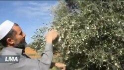 L'exportation de l'huile d'olive souffre de l'absence d'usines spécialisées en Libye
