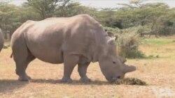 科学能拯救肯尼亚濒临灭绝的犀牛吗?