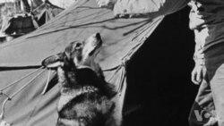 美国军犬因作战勇敢被追授最高勋章