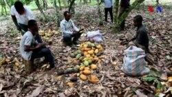 Qərbi Afrika fermerləri kakaodan əldə edilən gəlirin çox az olduğunu deyir