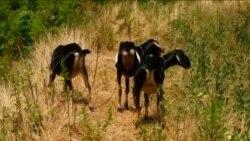 U Brooklynu, koze brinu o korovu