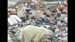 Gấu Bắc cực bới rác tìm kiếm thức ăn