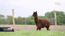 Potraga za COVID19 lijekom uz pomoć Alpaca lama