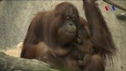 İki Haftalık Orangutan Görücüye Çıktı