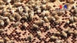 Daha Az Sayıda Arı, Daha Az Bal Üretiyor