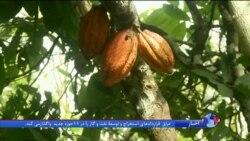 جنگل زدایی در مناطق استوایی و آینده صنعت شکلات سازی