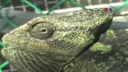 Alimlər buqələmunların gözlərindəki müəmmanı aşkar ediblər
