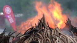Africa's Elephant Ivory: Sell or Destroy?