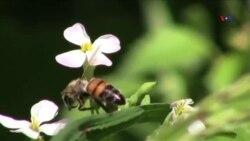 Arıların nəslini necə qorumalı?