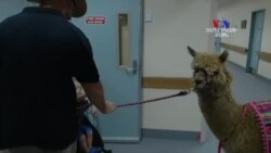 Ավստրալիայի Քվինսլենդի հիվանդանոց երկու ալպականեր են բերվել