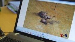来自中国的需求危及南非驴生存