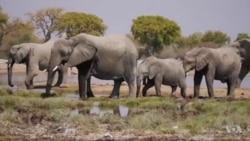 美国暂不决定是否允许进口被猎杀的非洲象纪念品