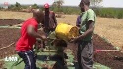 Une entreprise kenyane convertit les criquets pèlerins en aliments
