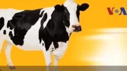 Thành ngữ tiếng Anh thông dụng: Cash cow (VOA)