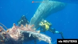 Tim Penyelam Penjaga Pantai Italia berupaya membebaskan paus yang tertangkap di jaring ikan, di lepas pantai Lipari, Italia, 26 Juni 2020. (Credit: Italian Coast Guard/ Handout)