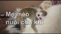 Mẹ mèo nuôi con khỉ