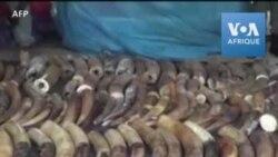 Les autorités camerounaises arrêtent des passeurs d'ivoire et saisissent 118 défenses d'éléphant