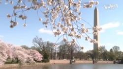 疫情周年华盛顿樱花引游人驻足