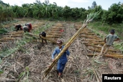 FILE - Workers collect chopped sugar cane on the outskirts of Phnom Penh, Cambodia, June 3, 2016.