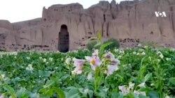 فصل گل کچالو در بامیان