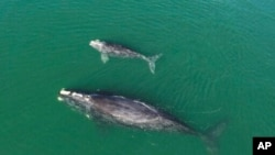 FILE - This Georgia Department of Natural Resources photo shows a North Atlantic right whale mother and calf in waters near Wassaw Island, Ga., Jan. 19, 2021.