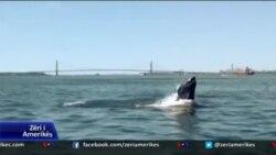 Balenat rikthehen në Manhatan