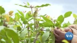 Some Kenyan Farmers Growing Herbal Stimulant Instead of Food Crops