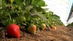 توت زمینی میتواند بدیلی برای کشت کوکنار باشد؟