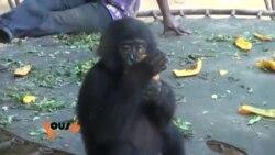 Un reportage sur les Bonobos en RDC avec Roger Muntu