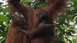 Orangutani na Sumatri - žrtve industrije palminog ulja