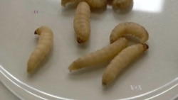Genetically Modified Larvae Could Replace Lab Animals