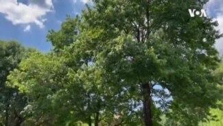 Cicadas - Tree to Table USAGM