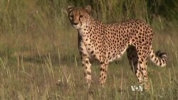 Racing to Save the Cheetah