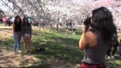 U Washingtonu trešnje u punom cvatu
