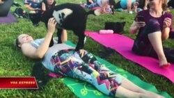 Tập yoga với… dê