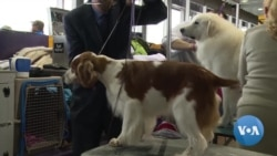 Dogs Pampered Before Prestigious Westminster Show