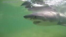 侦测白鲨行踪的应用程序为人类提供早期预警