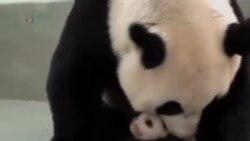 VOA连线: 台湾首只熊猫宝宝可爱模样大受欢迎
