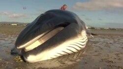 알래스카 고래들 의문의 죽음