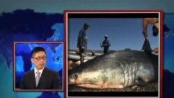 时事大家谈:中国的鱼翅外交和挑战