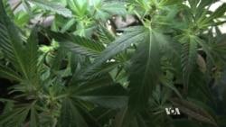 Washington DC Has First Marijuana Seed Exchange