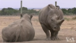走进美国:用代孕方式拯救北白犀