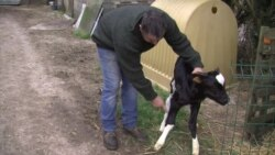 French Farmer Sues Wind Farm Over Stressed Cows