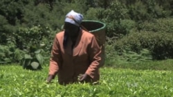 Kenya's Tea Farmers Brace for Climate Change