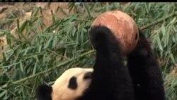 华盛顿国家动物园喜迎熊猫宝宝诞生