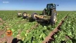 امریکی کسان اپنی فصلیں ضائع کرنے پر مجبور